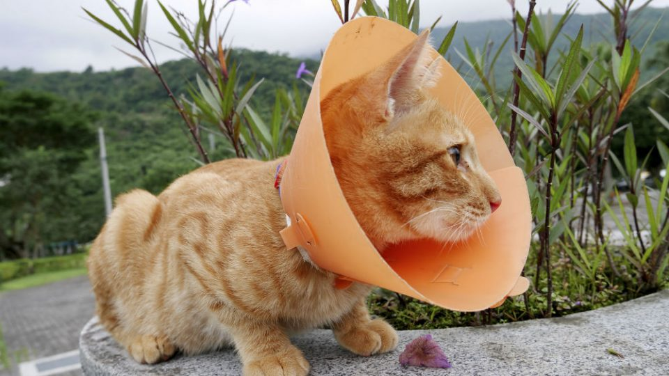 cat-in-cone-collar-web